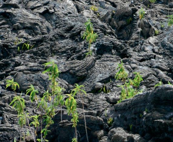 La nature reprenant ses droits après une coulée de lave à La Réunion. ©vr